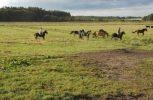 Pferdetreiben